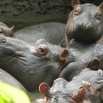 Parque Kruger - Hipopótamos