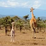 Maasai Mara - Giraffes