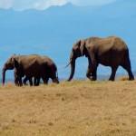 Maasai Mara - Elephants