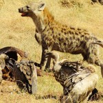 Maasai Mara - Hiena