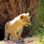 Maasai Mara - Baby Lion