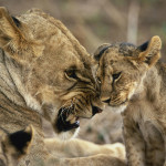 Lioness snarling at her cub for misbehaving, Masai Mara Game Reserve, Kenya, Africa Panthera leo