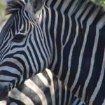 Safári no Kruger - Zebras
