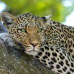 Safári no Kruger - Onças
