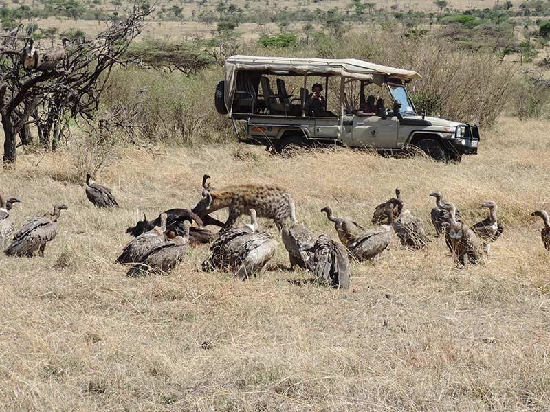 Safári no Quênia - Hiena e Abutres