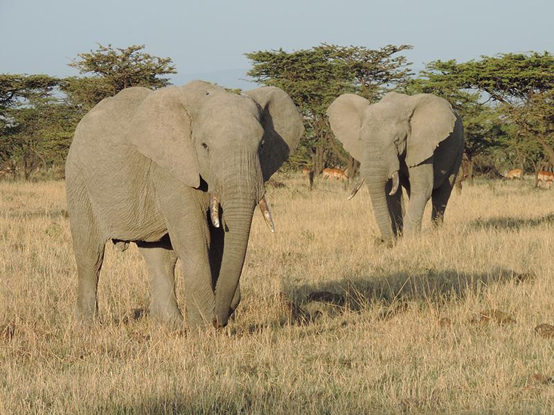 Quênia - elefantes