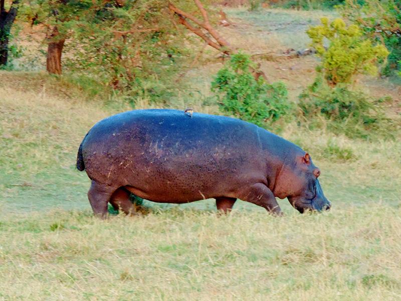 Quênia - Hipopótamo